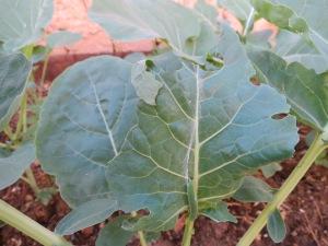 Gusano del col (brócoli)